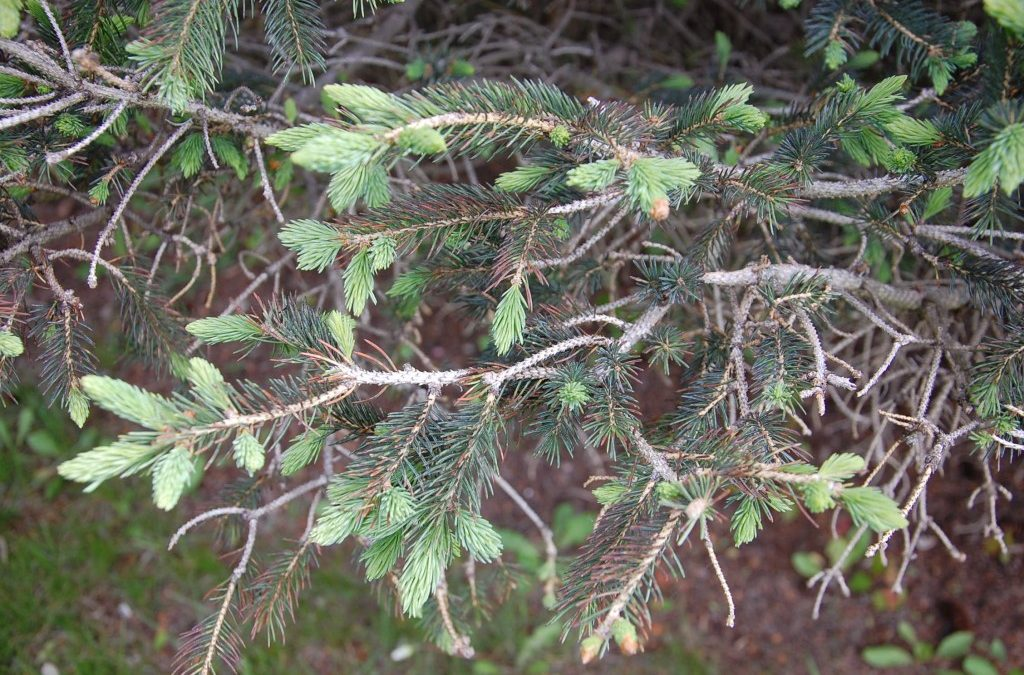 What is happening to my Spruce trees?