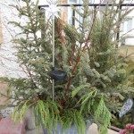 Pines, Spruce and Evergreens